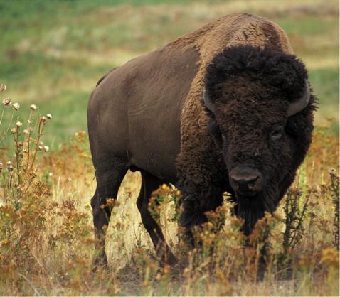 Bison - Animal Totem