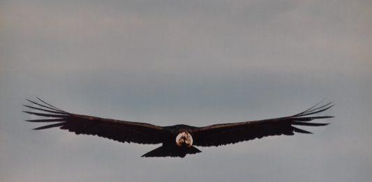 Le Condor - Animal Totem