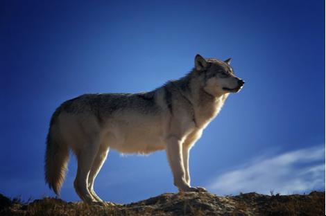 Loup - Animal Totem